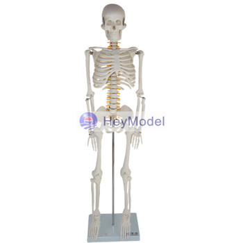 HeyModel Artificial Skeleton Model with numbers and instructions With spinal cord disc