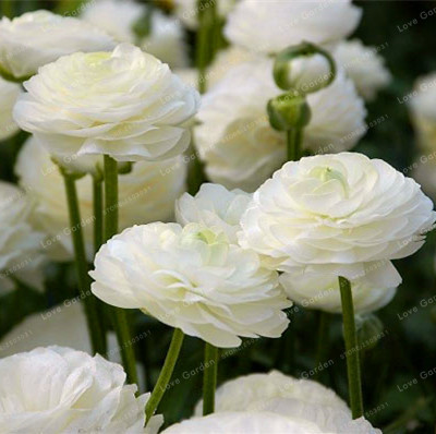 Ranunculus Flower Seeds (500 Pieces)