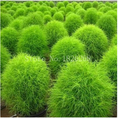 Bonsai Grass Seeds 200pcs Balcony Plant Green Broomsedge Seeds Outdoor  Family Garden Plants Garden Decoration Free