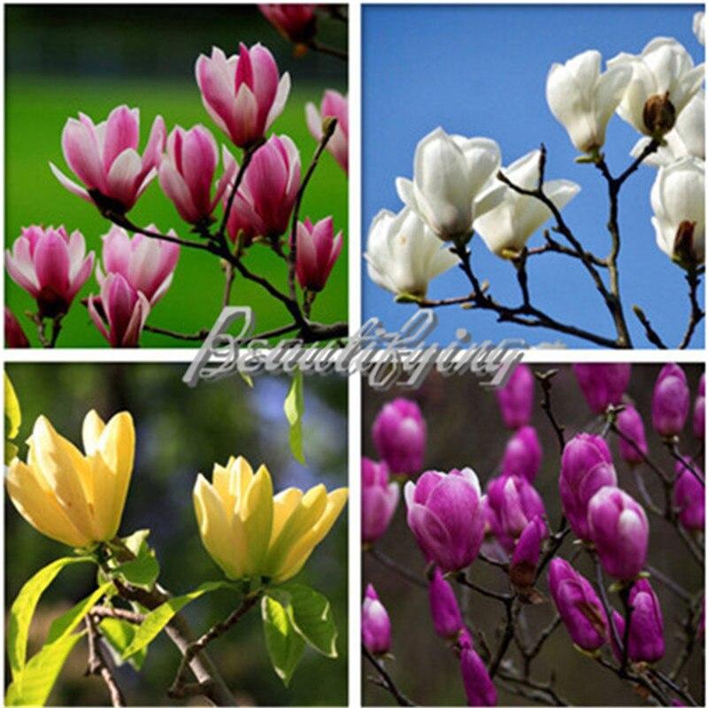 30 Pcs//bag Magnolia Tree Seeds Magnolia Flowers Pot Bonsai Home Ornamental Plant