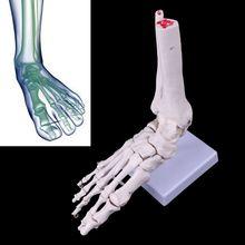 Adereços médicos modelo livre porte vida tamanho pé tornozelo articulação esqueleto anatômico modelo médico display ferramenta de estudo