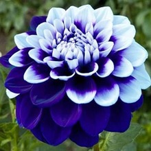 40 Pcs Bonsai Colorful Dahlia Flower Outdoor Tree Charming Flower(Not Bulbs)Home Garden Potted Plant