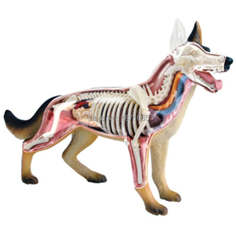 Niedlich Hund Anatomie Modell Zeitgenössisch - Menschliche Anatomie ...