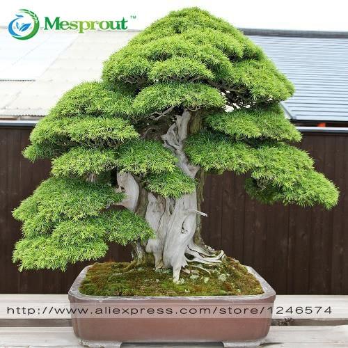Bonsai seeds 30 pcs Japanese Red Cedar - Cryptomeria japonica seeds - Bonsai Tree Evergreen Bonsai Home gardening, free shipping