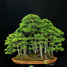 ZLKING 20 Rare Beautiful Juniper Bonsai Tree Potted Flower Office Bonsai Purify The Air Absorb Harmful Gases