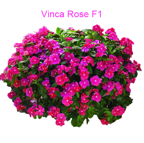 One Pack Hanging Vinca Rose Flower Seeds Catharanthus Roseus