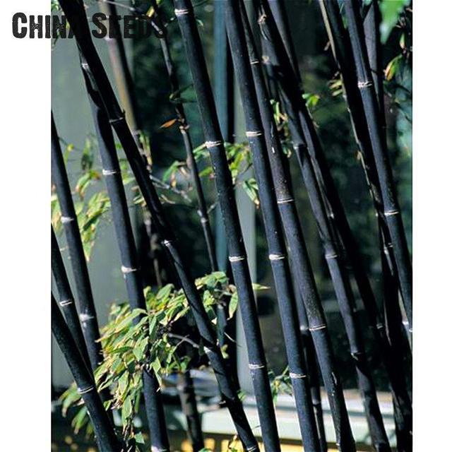 20 Pcs Bamboo Seeds Rare Giant Black Moso Bambu Seed Good Ng Bambusa Lako