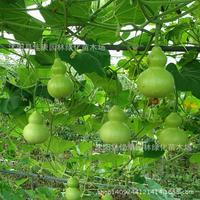 Fruitplant and vegetableplant, Po Lo gourd gourd planthell gourd germination rate pumping real planthot 200g / Pack