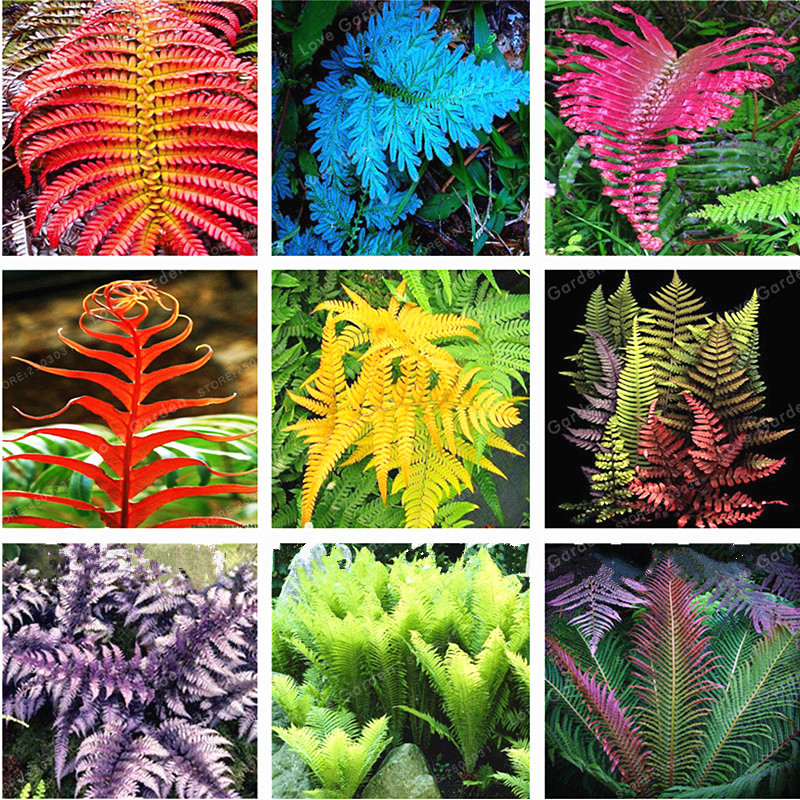 100 шт. японский Редкие Creeper нефролепис возвышенный лозы растений вьющихся растений декоративное растение бонсай для дома и сада