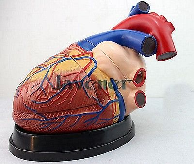 Magnify Human Anatomical Heart Anatomy Viscera Medical Model For Teaching 4d anatomical human brain model anatomy medical teaching tool toy statues sculptures medical school use 7 2 6 10cm