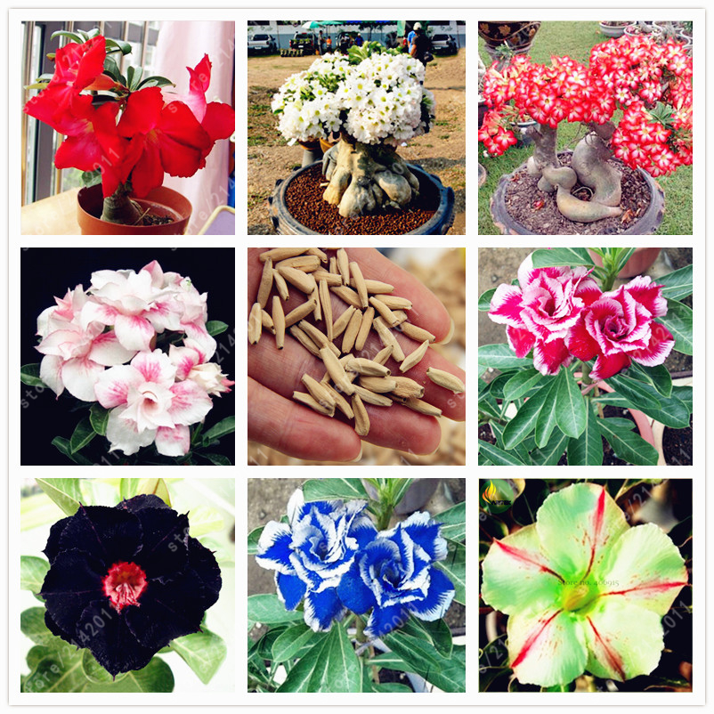 2pcs/bag Desert Rose seeds,Adenium Obesum Seeds Double Petals bonsai flowers Seeds 100% true seed potted plant for home garden