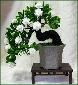Image 5 - 2pcs/Bonsai Gardenia Jasminoides Flower Outdoor Fragrant Flowers White Cape  Bulb  Flore for Home Pot Planters-in Bonsai from Home & Garden
