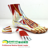 ENOVO Medical plantar level anatomical foot joint muscle neurovascular ligament and ankle joint