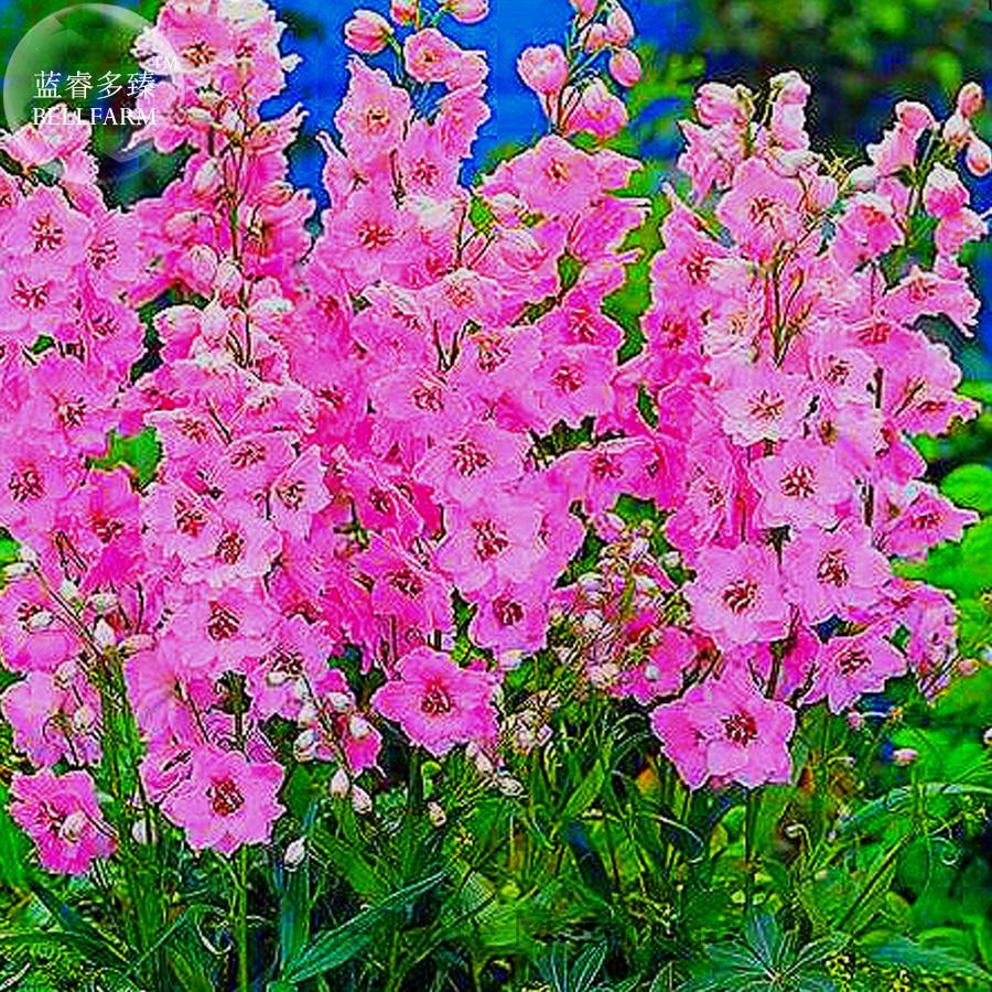 Bellfarm Different Types Of Delphinium Perennial Flowers 100 Seeds