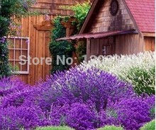 100 pcs Lavender Purple flower plants-100% High Quality genuine Free Shipping