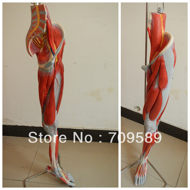 ISO Anatomical muscles Model of leg with main vessels and nerves, Leg Model economic half head with vessels model anatomical head model with brain nerves vascular muscles and vessels