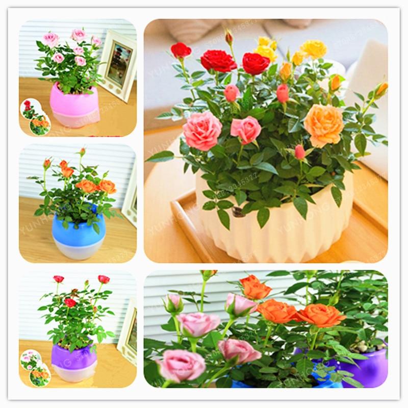 Mini Rose Bonsai Miniature Rose Seeds A Little Cute Plants