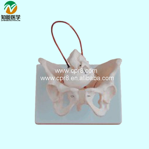 BIX-A1026 Female Pelvis Model With Fetal Skull Midwifery Bone Model G139 female pelvic fetal model nine months of pregnancy fetus uterine embryo development model fetal development model gasen sz017