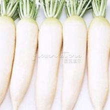 400 White Radish seeds~vegetable