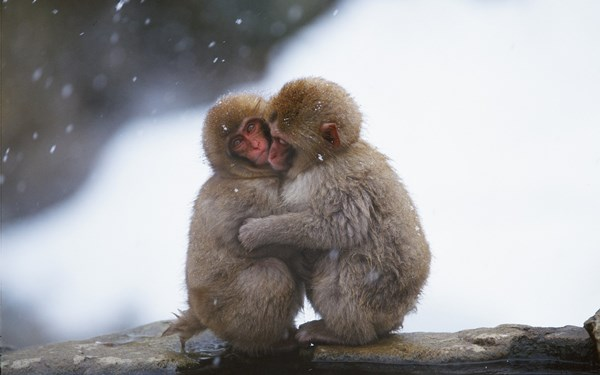 nature animals monkeys friends couple snow winter 4 Sizes Home Decoration Canvas Poster Print