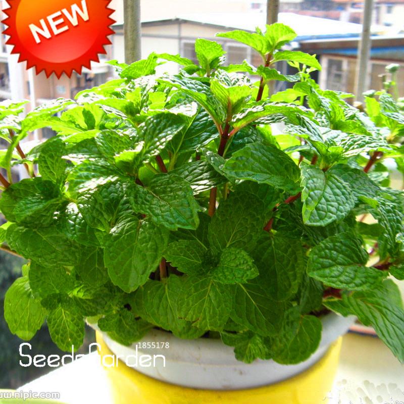 Promotion!Aromatic Plant Seeds Perfume Mint Balcony Potted Herb Mint Seeds DIY Home Garden 200 Pieces / bag,#2BRHPX