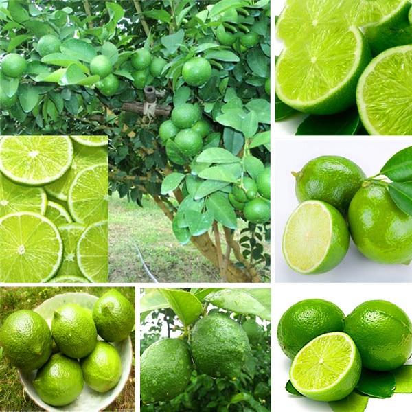 Buy thai organic seeds citrus for Buy lemon seeds online