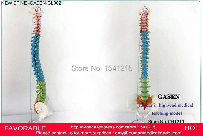 HUMAN ANATOMICAL SPINE SKELETON MANIPULATIVES SPINE MODELS HUMAN TEACHING SPINE MODEL SKELETON MODEL VERTEBRAL -GASEN-GL002 life size vertebral column spine with pelvis model bix a1009 w051