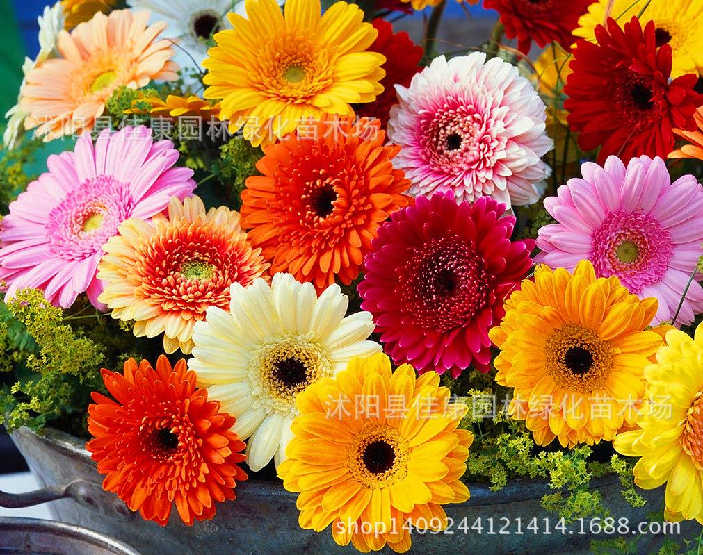 Free shipping authentic gerbera flower seeds rare color new arrival aeproducttsubject izmirmasajfo