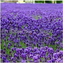 Free Shipping 100pcs Lavender Seeds herb seed garden balcony pot Four Seasons flower seeds