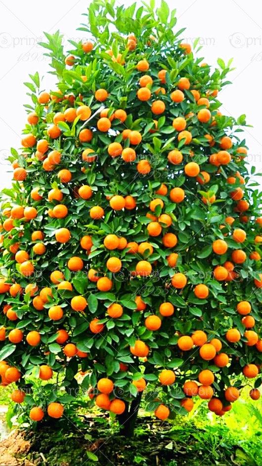 20pcs/bag orange seeds climbing orange tree seed bonsai Organic fruit seeds Like a Christmas tree pot for home garden plant