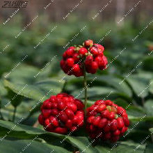 ZLKING 50 Pcs Improve Immunity Korea Ginseng Nutrition Herbs Natural Panax Korea Grow Ginseng Roots Medicinal Herb Seeds Plants