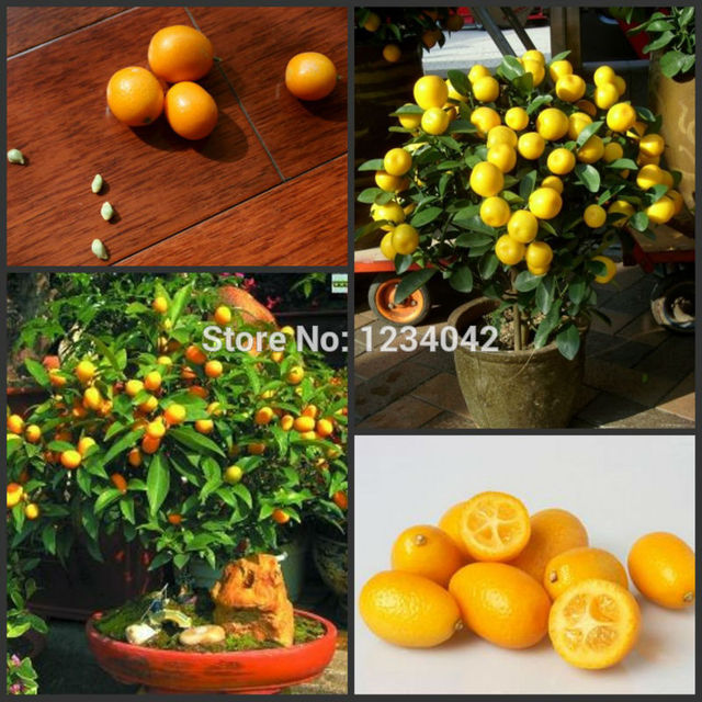 hospitality high grade fruit,  pcs small kumquat seeds, Beautiful flower