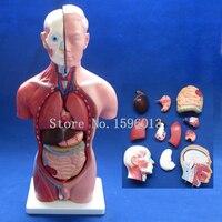 HOT 42CM Male Torso With Internal Organs 13 Parts Human Torso Model