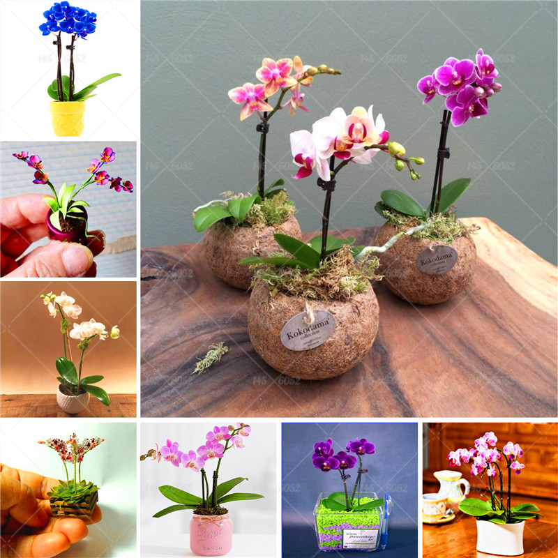 Buyrhm Buy 100 Pcs Bag Rare Mini Orchid Seeds Phalaenopsis Orchid
