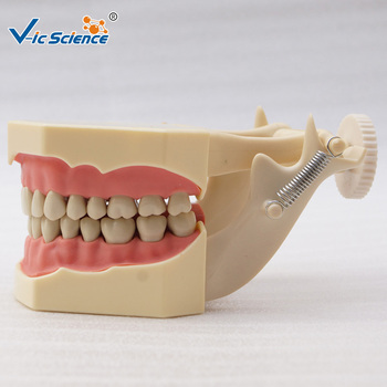 Hot Sale Frasaco Tooth Dental Model with Jaw Frame and Tongue