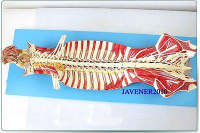 Human Anatomical Brain Spinal Nerve Medical Model High Quality