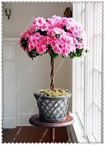 Семена цветков Азалии фото