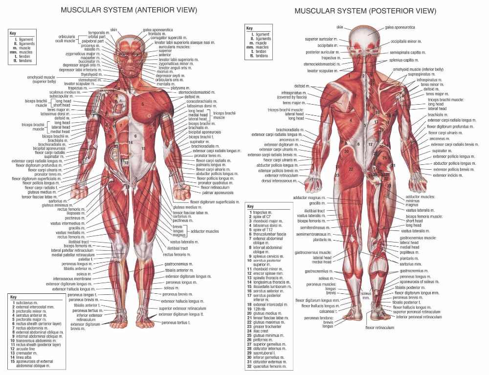 Human Anatomy Muscles System Art Poster Print Body Map Canvas Wall Pictures for Medical Education Home Decor
