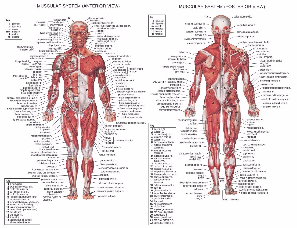 Human Anatomy Muscles System Art Poster Print Body Map Canvas Wall
