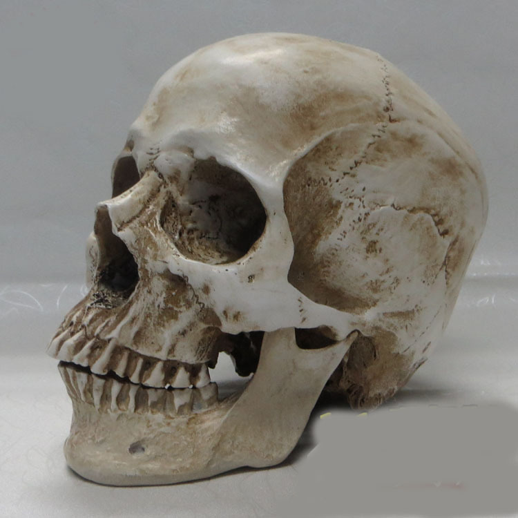 high quality 1 1 human skull model resin skeleton model painting human skull Art musculoskeletal anatomy