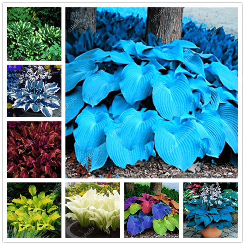 100 pcs Bonsai Hosta Plants Perennials Indoor Flower Shade Hosta Flower Grass bonsai Ornamental potted Plants Home Garden(China)