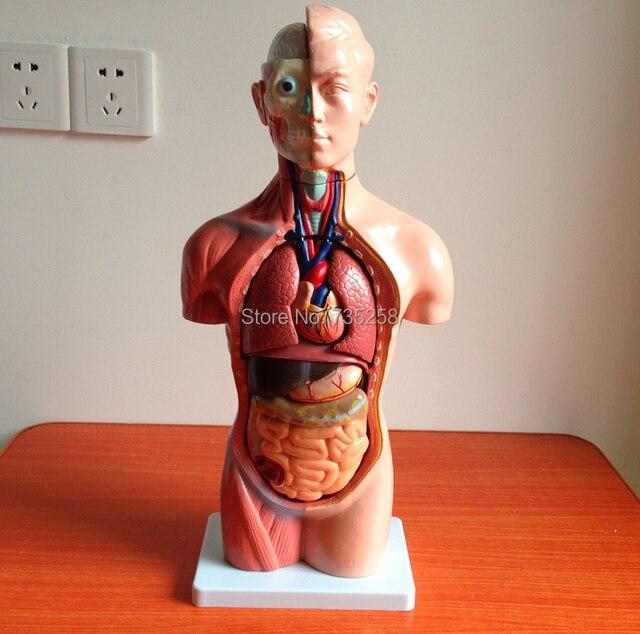 42 CM Sexless Torso 18 Teile, Den Menschlichen Körper Anatomie ...