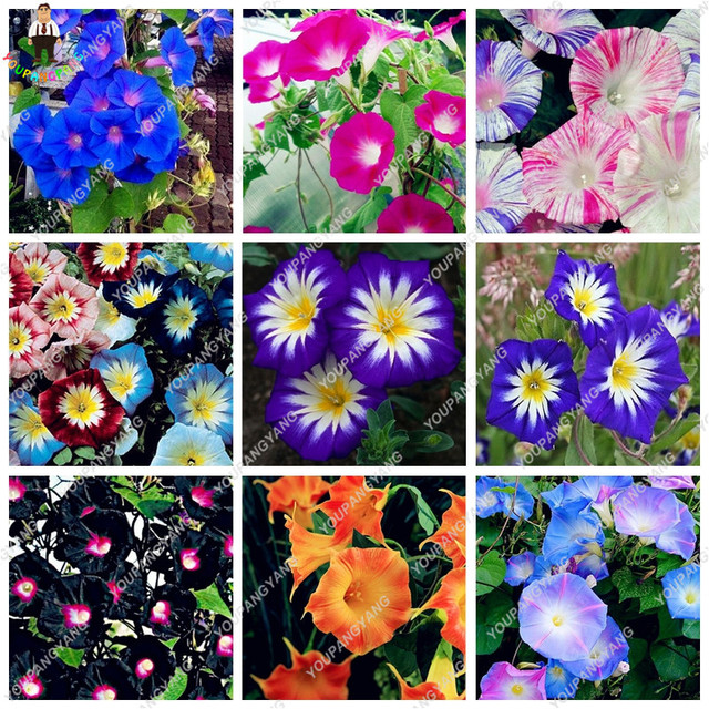 100 Pcs/Bag Rare Star Petunia Blue Plants Garden And Patio Potted Plant  Morning Glory