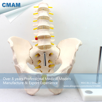 12342 / Human Pelvis Skeleton Anatomy Model with Lumbar Vertebrae, Educational Teaching Anatomical Models