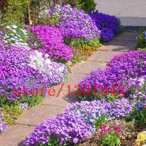 100 Rock Cress,rare land cover grass seeds  Aubrieta Cascade Purple FLOWER for home decoration  Deer Resistant Superb perennial