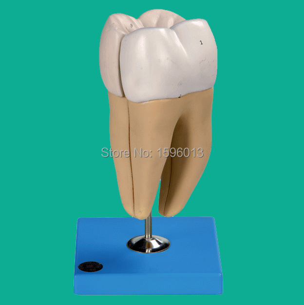 Lower Molar with Two Roots model, Molar teeth model,dental model