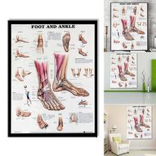 Анатомия стопы и лодыжки плакат анатомическая схема человеческого тела образовательные для анатомии человека плакаты