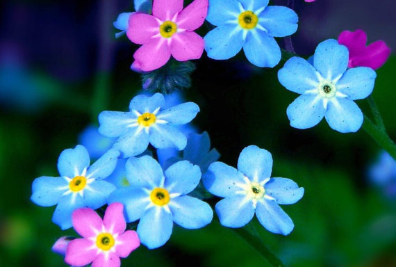 Blue Pink Forget Me Not Flower Seeds Rose Myosotis Scorpioides Sylvatica Fresh Seed Packet