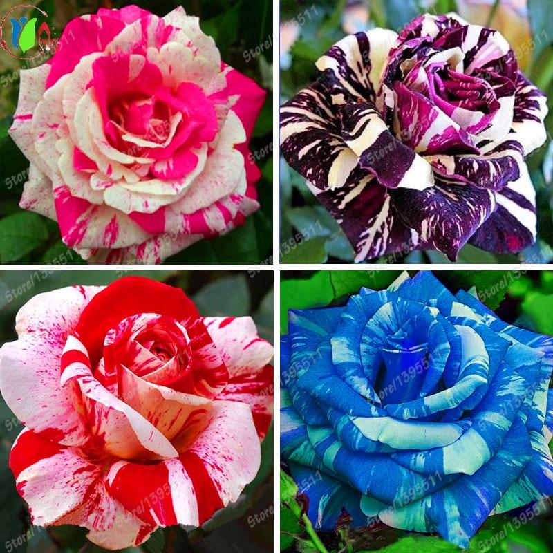 2016 New Blue Dragon Rose Seeds Rare Beautiful Stripe Rose Bush Plant Diy Home Garden Bonsai Flower Home & Garden - 50pcs/lot