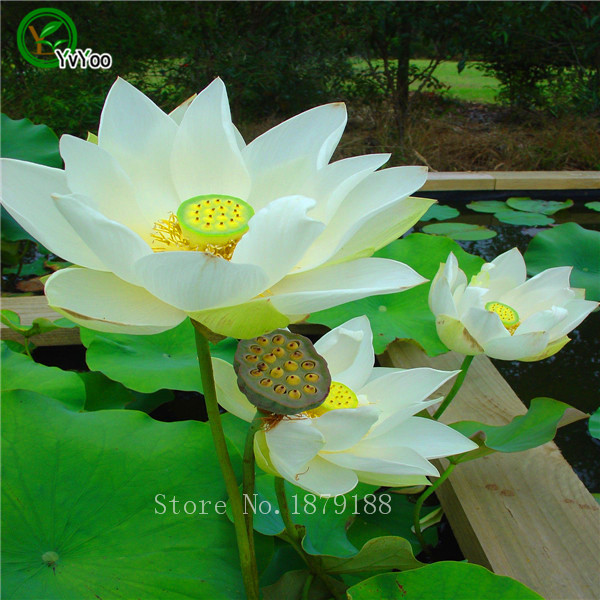 Online buy wholesale pond plants from china pond plants for Cheap pond plants